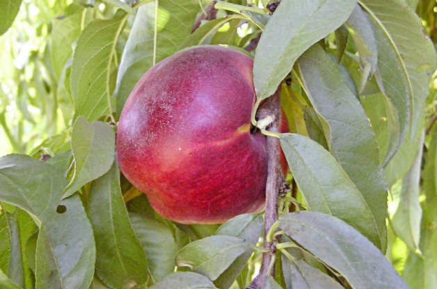 Top 10 Fruit Trees for Small Spaces: Nectarine