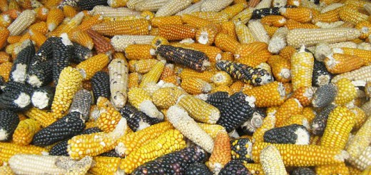 En México se siembra una amplia variedad de tipos de maíz, y ha sido pilar importante de su gastronomía por siglos. Foto: Wikimedia Commons.