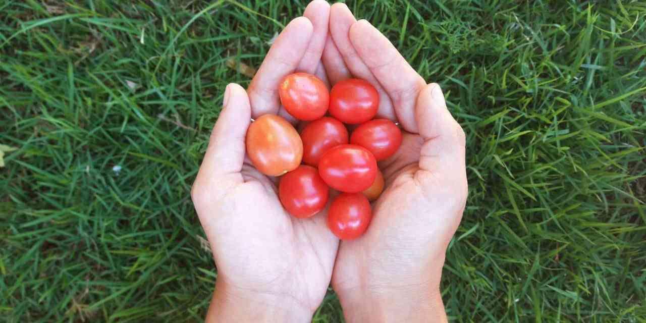 9 Consejos para plantar tomates orgánicos en la casa (o apartamento) durante todo el año