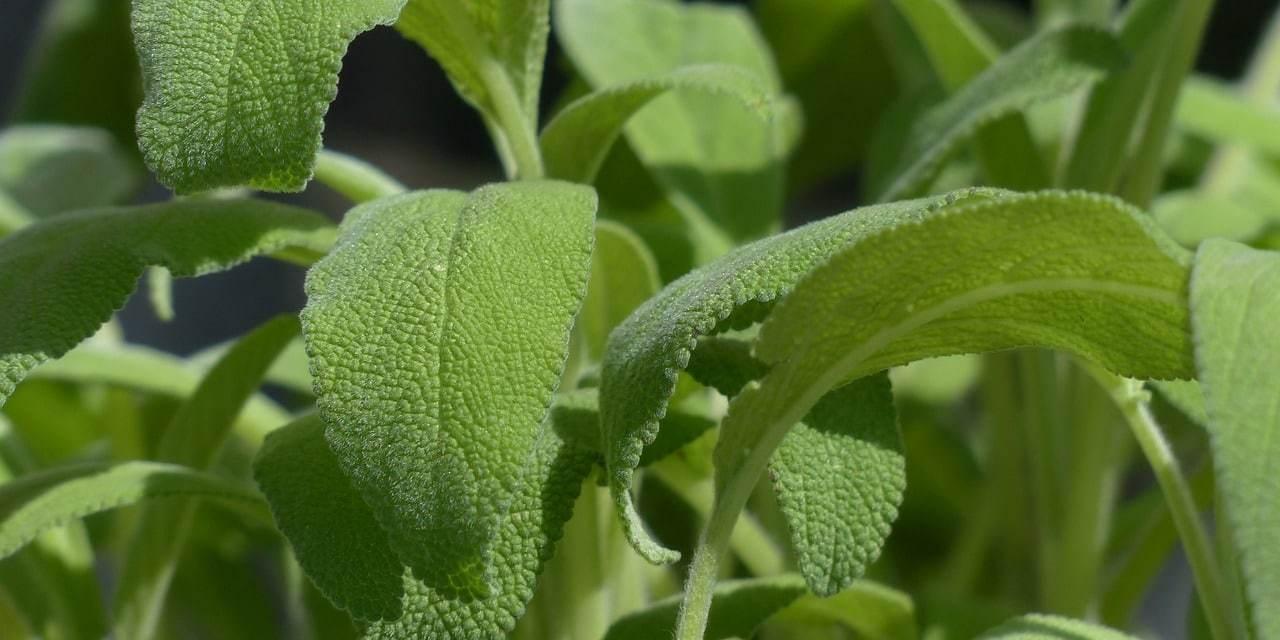 Salvia, Propiedades Medicinales, remedios caseros y usos