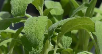 , Salvia, Propiedades Medicinales, remedios caseros y usos
