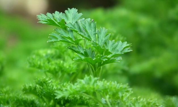 Como Y Porque Plantar Perejil En El Huerto O Maceta, Cultivo y propiedades