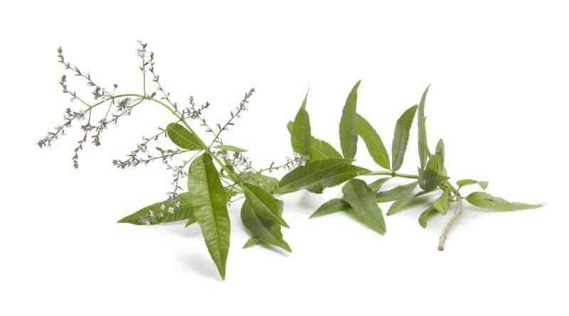 Como cultivar Cedrón, propagación y cuidados
