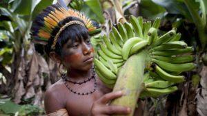 El Amazonas es un bosque de alimentos intencional, los investigadores descubren…
