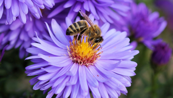 Plantas que puedes cultivar para ayudar a las abejas y evitar su extinción