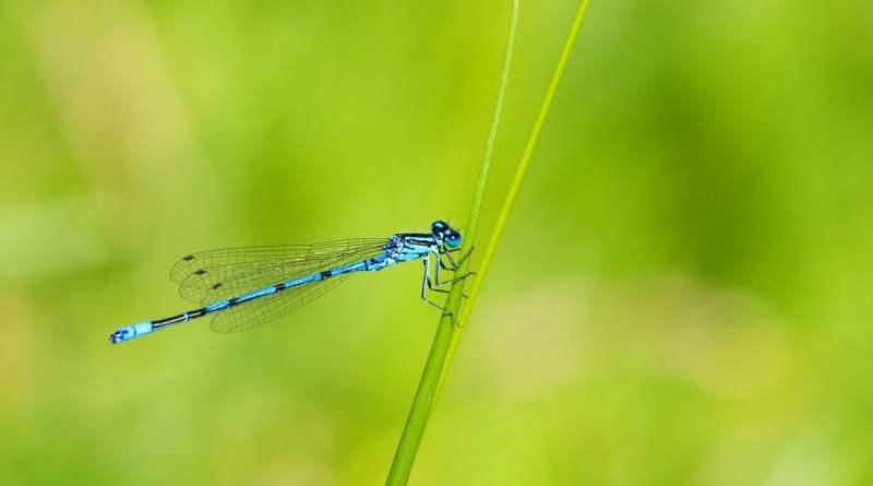 , Plantas que atraen a las libélulas para el control de mosquitos