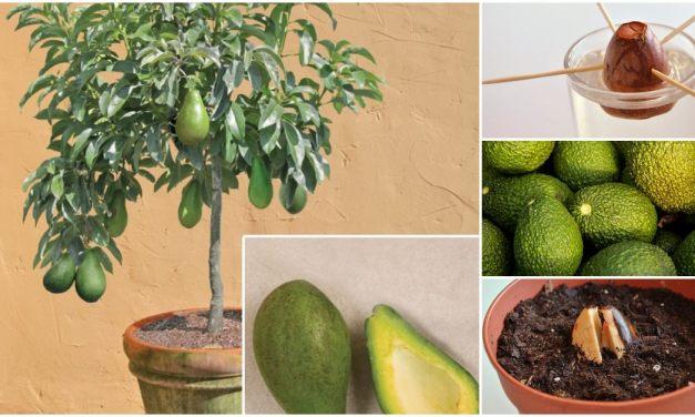 Cómo cultivar un árbol de aguacate o palta en casa