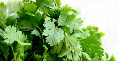 Beneficios del cilantro, La ciencia demuestra que el cilantro descontamina el cuerpo: elimina metales pesados