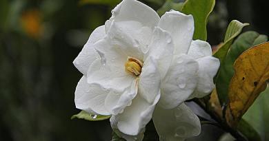 , La flor que combate la inflamación, la indigestión y más