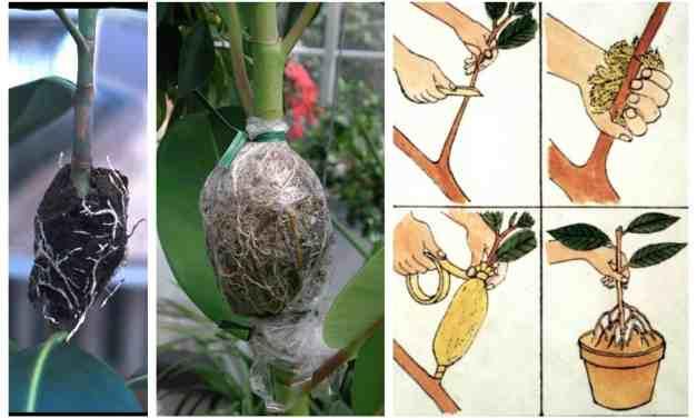 Cómo hacer un acodo aéreo para multiplicar frutales (y muchas otras plantas)