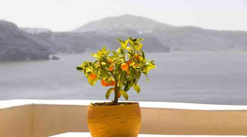 Árboles frutales para jardines pequeños y macetas