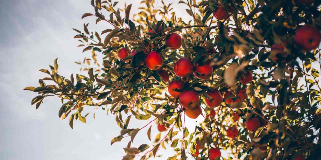 Plantar un Manzano a partir de Semillas