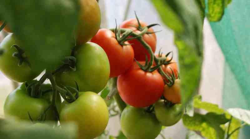 Todo sobre el Cultivo del Tomate