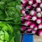 16 verduras que cosecharás en menos de 60 días.