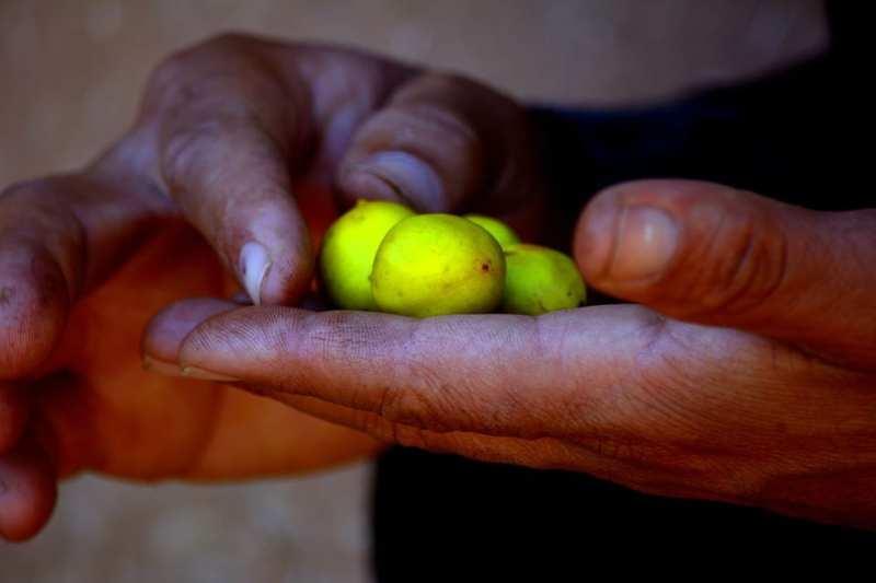 Fruto de argán, beneficios, contraindicaciones y cómo usarlo