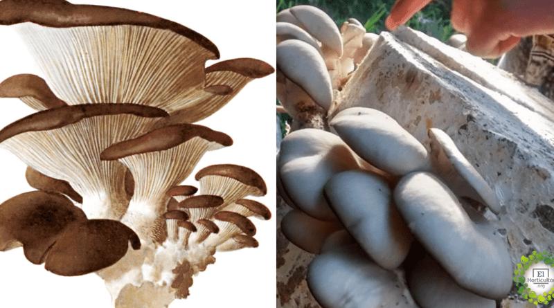 , Cómo cultivar Hongos Gírgola Orgánicos en tu hogar + Guía Completa