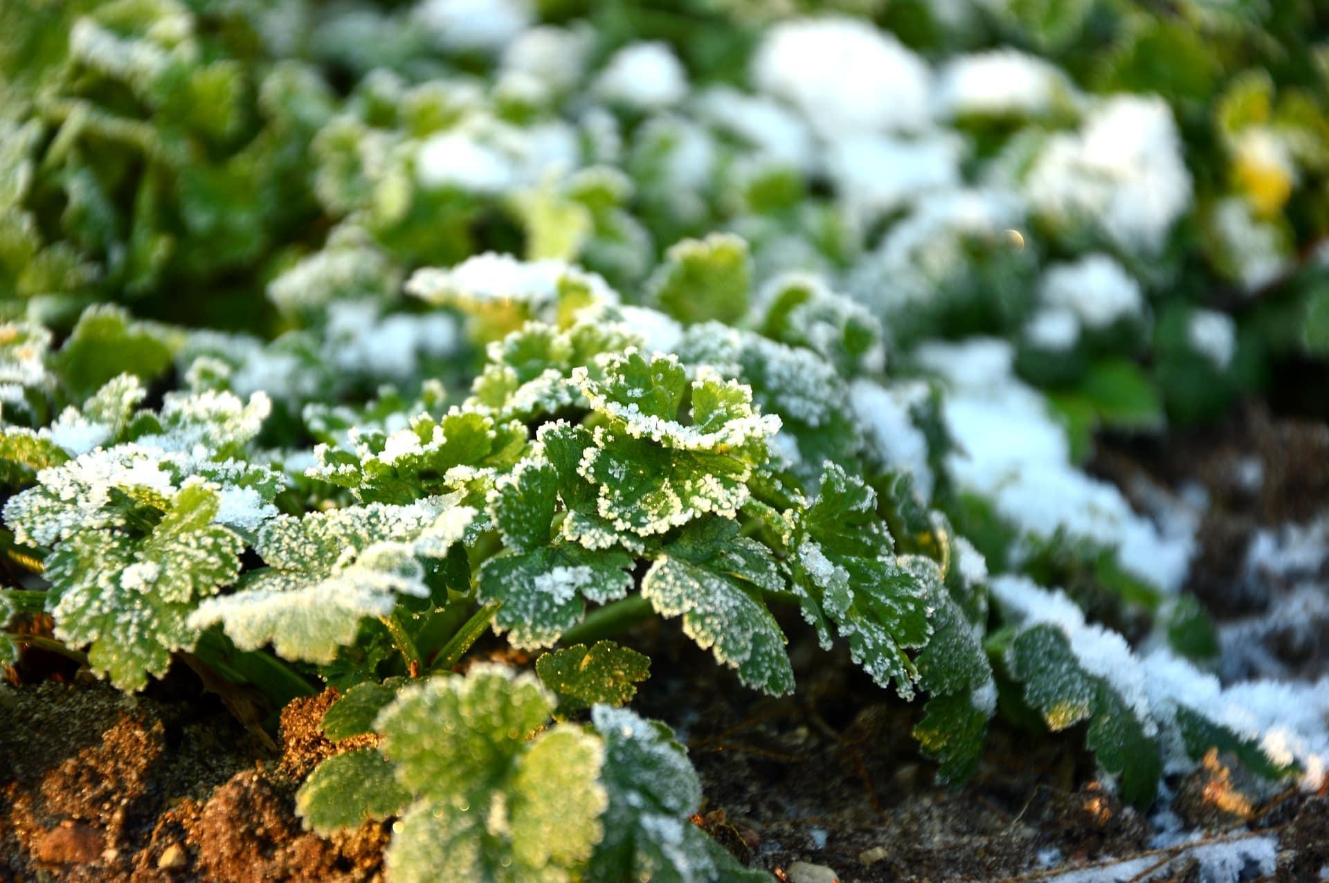 5 Formas para proteger tus plantas de una helada repentina »El Horticultor