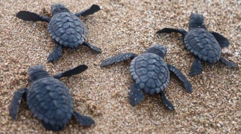 En el Líbano, las playas vacías por la pandemia se llenan de tortugas marinas