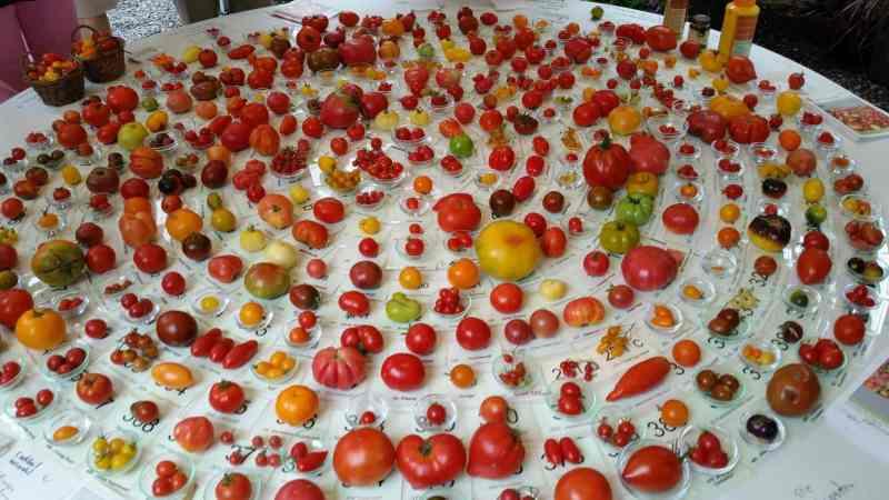 variedades de tomates