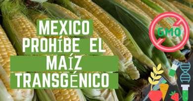 , México prohíbe el maíz transgénico y el glifosato: ya no habrá importaciones