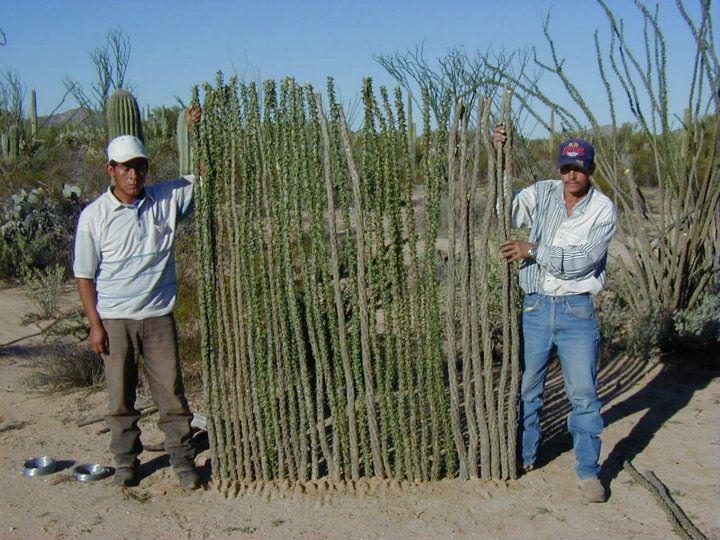 Cercos vivos de cactus, una opción sustentable