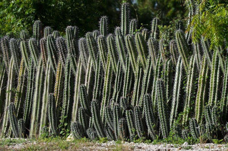Cómo plantar cercos vivos de cactus, una opción sustentable