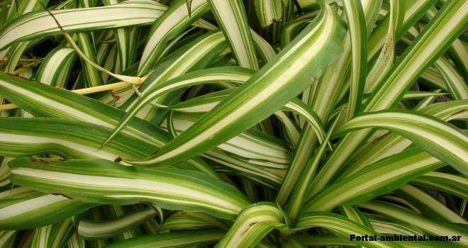 8 plantas de interior que limpian el aire el horticultor for Flores para interiores con poca luz
