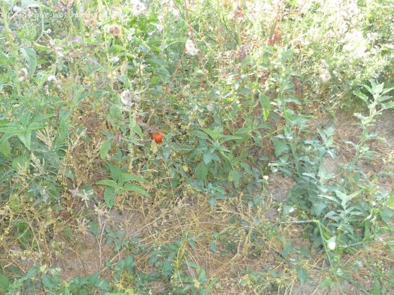 Tomate  CHERRY SALVAJE