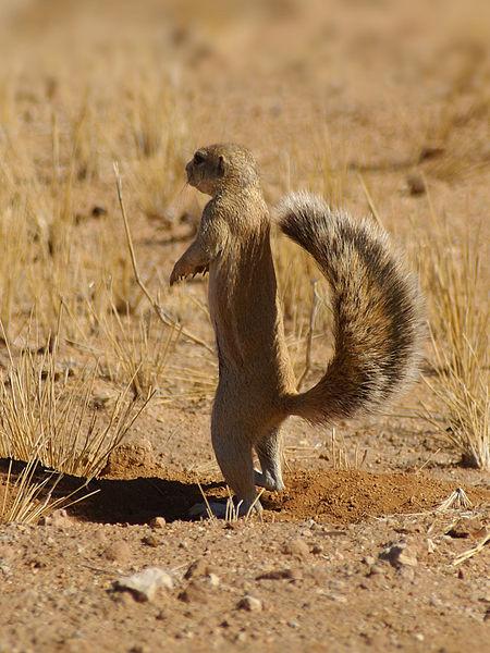 Esquilo terrestre africano Xerus Inauris
