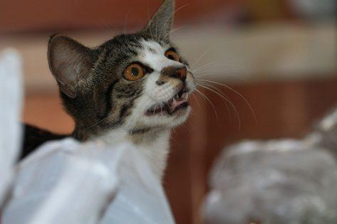 Linfoma alimentare gatto terapia