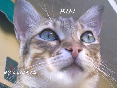 Infezioni infiammazioni oculari nel gatto