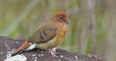 Redescoberta espécie rara de ave brasileira