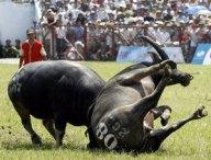 buffalo-fighting-festival-koh-samui