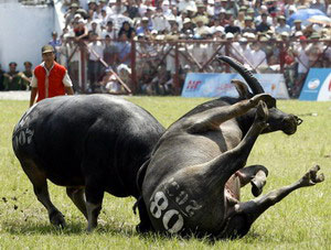 buffalo-fighting-festival-koh-samui