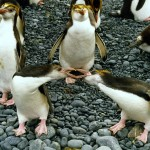 1280px-Royal_penguins_arguing