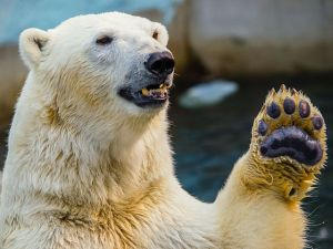 polar-bear-high-five