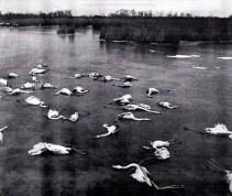 Janvier 1985 - Flamands Roses en Camargue