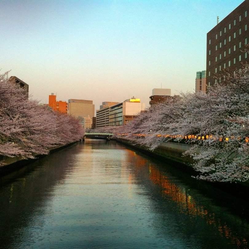 Giappone_ciliegi in fiore