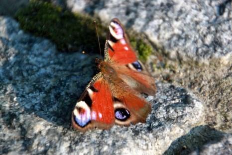 Бабочка на брусчатке. Парк Феофания, Киев