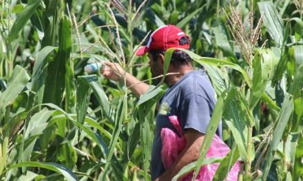 Continua liberación de insectos para proteger cultivos en Manuel Doblado