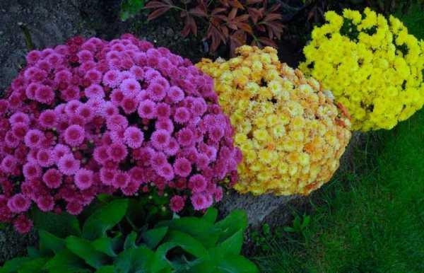 Хризантема корейская фото и описание
