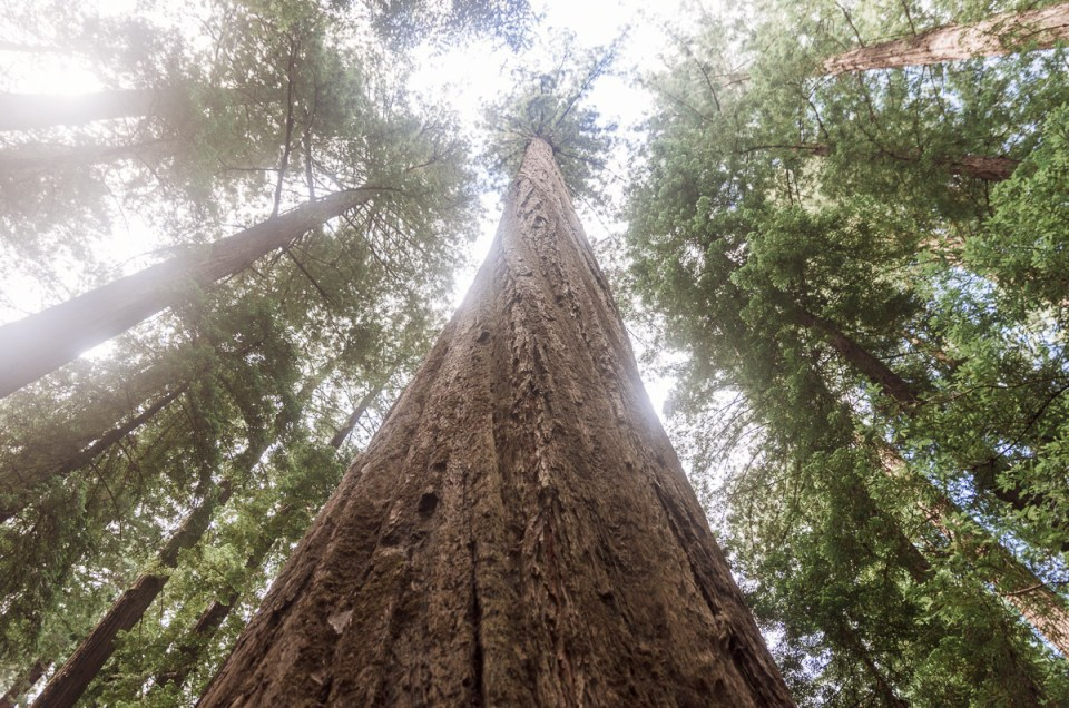 U.S. Travel Blog – Giant Trees in California's Redwoods Forests