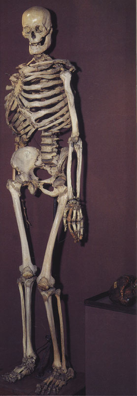 The skeleton of Bourgeois, in Peter the Great's museum