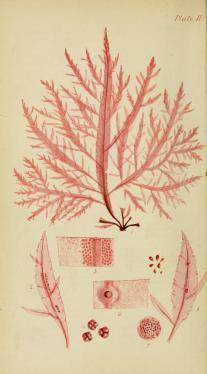 Delessaria hypoglossum, Plate 2