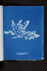 Laurentia pinnatifida