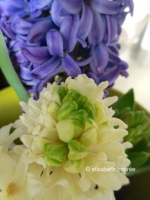 blue and white hyacinths