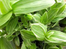 Tradescantia fluminensis (albiflora)