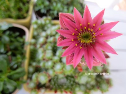 succulent with pink flower 2013