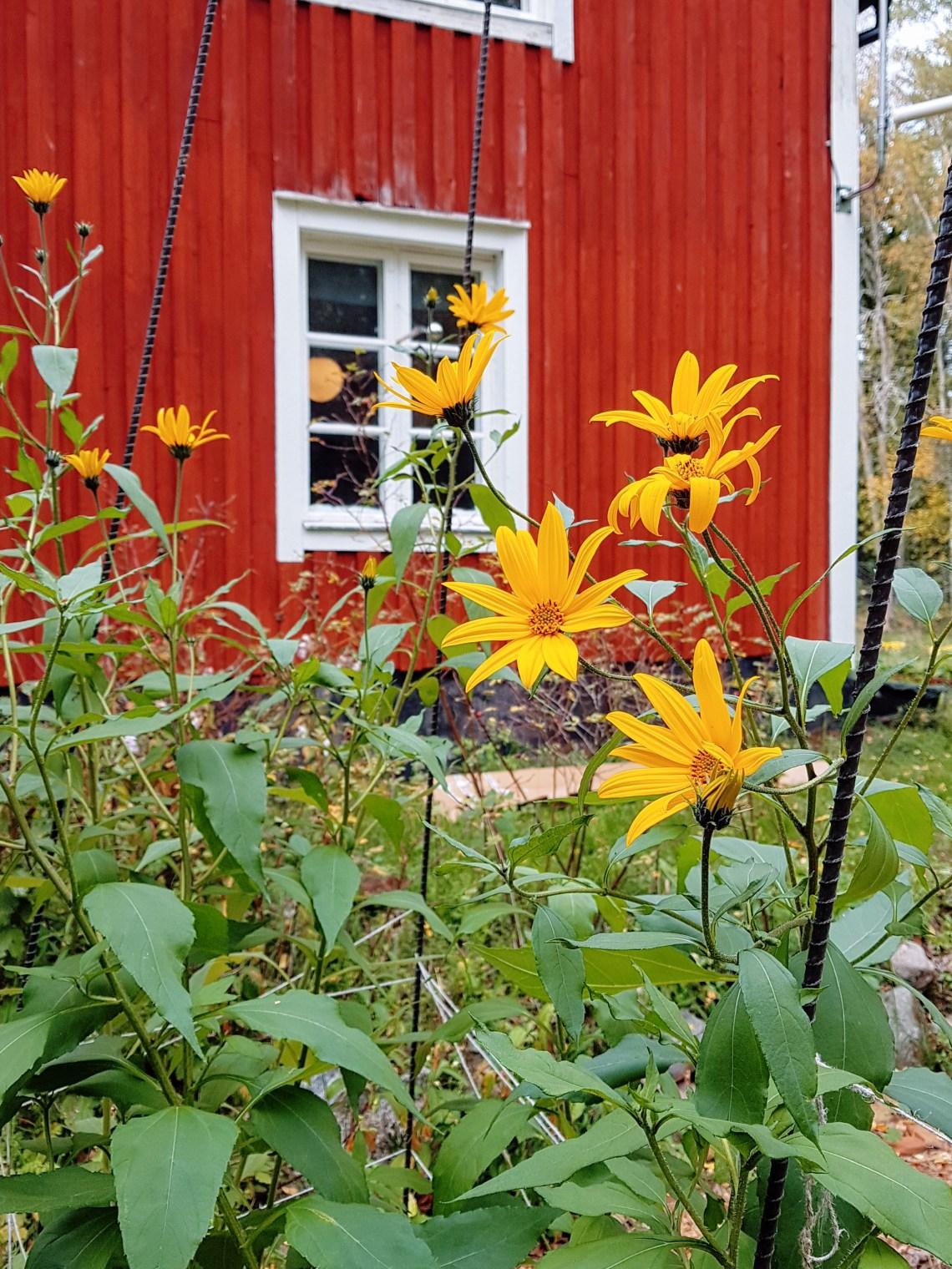 Elisabeth Biströms trädgård, en bädd med jordärtskockor som blommar.