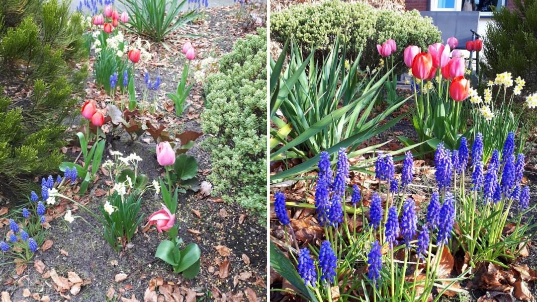 bloembollen in de voortuin april 2018